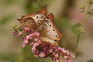 mariposa alma gemela